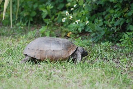C Turtle….
