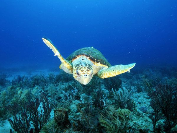 loggerhead-sea-turtle_11263_600x450